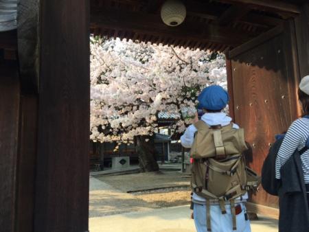 円成寺の桜